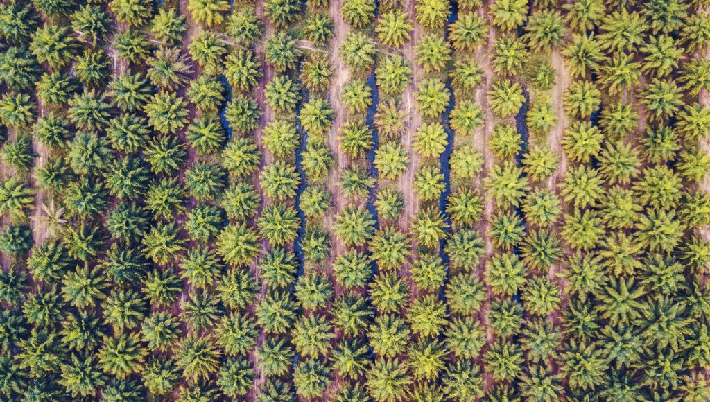 Den överallt förekommande palmoljan och dess nackdelar för vår planet